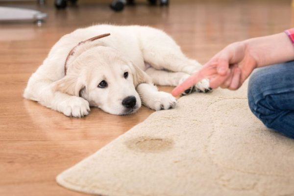 53061387 - golden retriever puppy looking guilty from his punishment