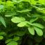 Superpotravina jménem Moringa: Jaké jsou její účinky a v čem může pomoci?
