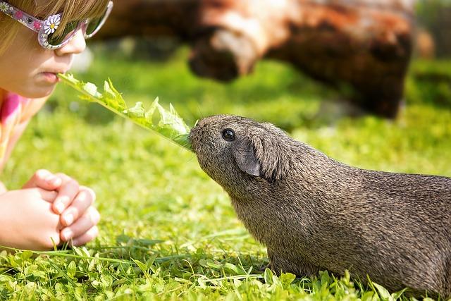 guinea-pig-792532_640